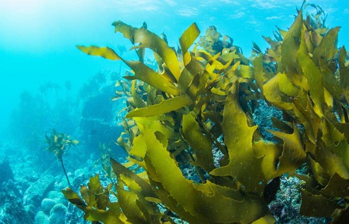 alga-blu-klamath-benefici-dimagrimento