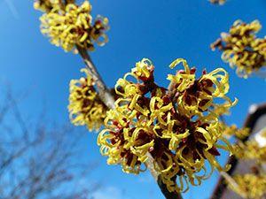 la pianta anamelide