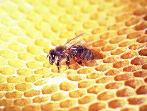 un'ape prende il miele