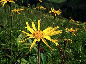 fiore arnica