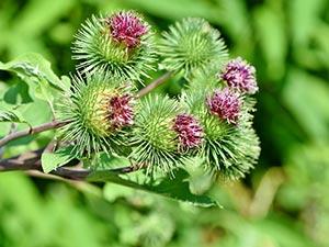pianta di bardana