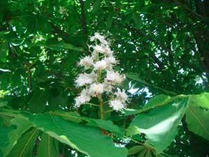 fiori di ippocastano