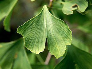 foglie di ginkgo