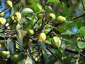pianta di garcinia cambogia