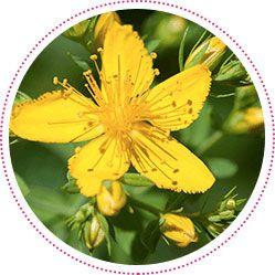 pianta di hypericum perforatum