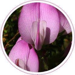 fiore della pianta di ononis