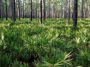piante di serenoa del sud america
