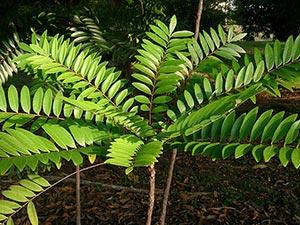 foglie di tangkat ali