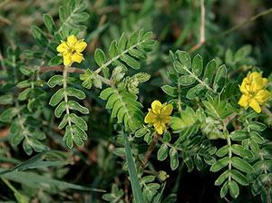 Fiore tribulus terrestris